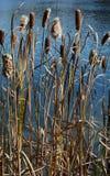 Cattails sullo stagno in autunno tardo Fotografie Stock Libere da Diritti