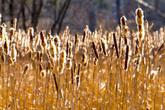 Cattails in the sun. In Fall stock photos