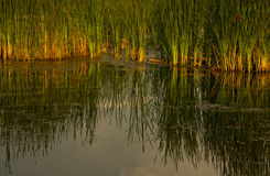 Cattails at sunset Stock Photos
