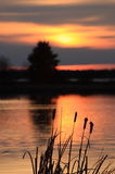 Cattails at Sunset Royalty Free Stock Images