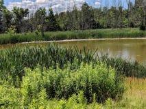 Cattails sur un étang sombre images stock