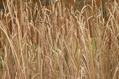 Cattails or Typha background Stock Photography