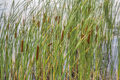 Cattails Typha Stock Photography