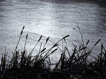 Cattails vid det djupfrysta dammet Fotografering för Bildbyråer