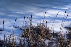 Cattails vid en djupfryst sjö Arkivbilder