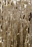 Cattails in a wetland with a spider web. Cattails in a wetland in Canada spider web royalty free stock photo