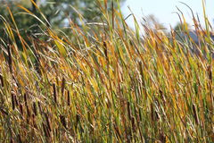 Cattails in Wetland Typha Royalty Free Stock Photos