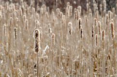 Cattails on the wetlands Royalty Free Stock Images