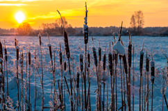 Cattails at winter sunrise Stock Image
