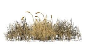 Cattailväxt i hösten - som isoleras på vit bakgrund Royaltyfria Bilder