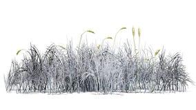 Cattailväxt i vintern - som isoleras på vit bakgrund Royaltyfri Bild
