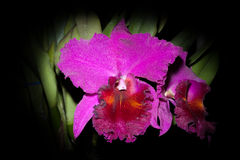 Cattaliya orchid Stock Photos