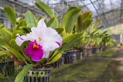 Cattaliya Orchid Stock Photography