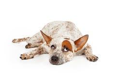 Catte狗被混合的品种辗压眼睛 库存图片