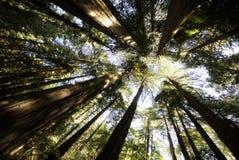 Cattedrale delle sequoie e dei Redwoods Fotografia Stock Libera da Diritti