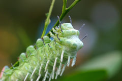Catterpillar Royalty Free Stock Photography