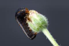 Catterpillar auf einer grünen Knospe Stockbild