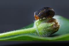 Catterpillar em um botão verde Fotografia de Stock Royalty Free