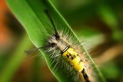 catterpillar krypa liggandeleaf Arkivfoton
