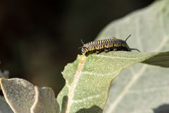 One small detail can undermine your expectations. Avoid eating m. A catterpillar makes it`s way by eating the green tender leafs of a profitable plant. For the Royalty Free Stock Photo