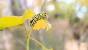 Catterpillar von Papilio-machaon Schließen Sie herauf Schuss Lizenzfreie Stockfotos