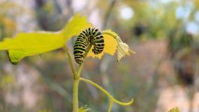 Catterpillar von Papilio-machaon Schließen Sie herauf Schuss Lizenzfreie Stockbilder