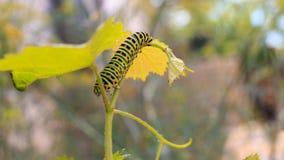 Catterpillar von Papilio-machaon Schließen Sie herauf Schuss Lizenzfreie Stockfotografie