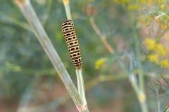 Catterpillar von Papilio-machaon seinen letzten Tagen als Gleiskettenfahrzeug nähernd Kriechen auf einen Fenchel Lizenzfreie Stockfotos