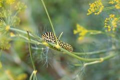 Catterpillar von Papilio-machaon seinen letzten Tagen als Gleiskettenfahrzeug nähernd Kriechen auf einen Fenchel Stockfotos