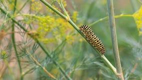 Catterpillar von Papilio-machaon seinen letzten Tagen als Gleiskettenfahrzeug nähernd Kriechen auf einen Fenchel Stockfotografie
