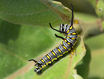 Catterpiller. Macro of a monarch caterpillar (Danaus plexippus) on a milkweed plant royalty free stock photo