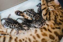 Cattery av bengalcatskattungen royaltyfri fotografi