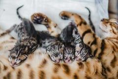 Cattery av bengalcatskattungen royaltyfri bild