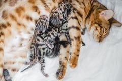 Cattery av bengalcatskattungen fotografering för bildbyråer