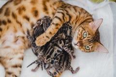 Cattery av bengalcatskattungen arkivfoto