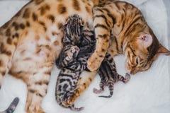 Cattery av bengalcatskattungen arkivfoton