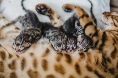 Cattery av bengalcatskattungen arkivbilder