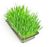 Cattish grass Royalty Free Stock Photos