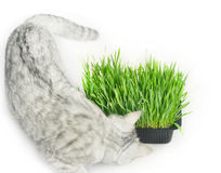 Cattish grass Royalty Free Stock Images