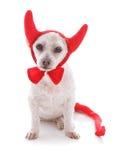 Cattivo costume del diavolo di Halloween del cane Immagini Stock Libere da Diritti