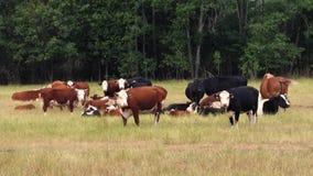 Cattle. On the pastureland stock photos