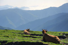 Cattle. Two cattles are resting on the hillside Royalty Free Stock Image