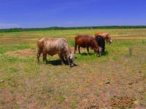 Cattle. A group of cattle grazing in a pasture Stock Photo