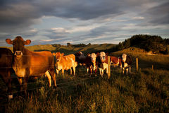 Cattle. Behind fence in pastural scene at sunset Royalty Free Stock Photo