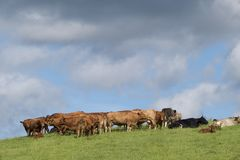 Cattle. Rural scene of cattle in a field stock photos
