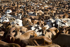 Cattle. Mustering braham cattle near the gulf of carpentaria North Queensland, Australia Stock Photo