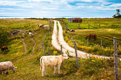 Cattle. Grazing in a field Royalty Free Stock Images