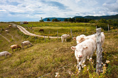 Cattle. Horses and Cows grazing in a field with a view of the Gulf of St. Lawrence Royalty Free Stock Photography