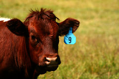 Cattle 20 Stock Photos
