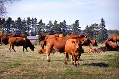 Cattle Royalty Free Stock Images